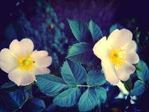 通配的玫瑰 免版税库存图片