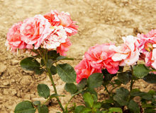通配的玫瑰 免版税库存照片