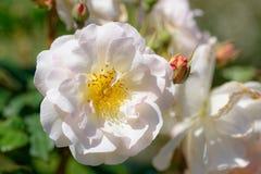 通配的玫瑰 图库摄影