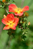 通配的玫瑰 库存照片