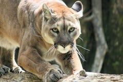 通配的美洲狮 免版税库存图片