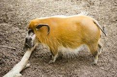 通配的肉猪 免版税库存图片