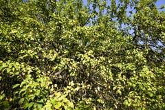 通配的苹果树 分支用苹果在森林里 库存图片