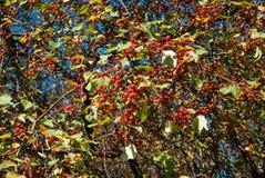 通配的苹果树 库存图片