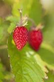 通配的草莓 免版税库存照片