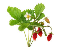 通配的草莓 库存照片