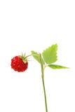 通配的草莓 免版税图库摄影