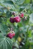 通配的莓 库存照片