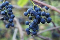 通配的葡萄树 库存照片