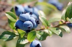 通配的蓝莓 库存图片