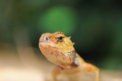 通配的蜥蜴 免版税库存图片