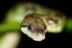 通配的蟒蛇 库存图片