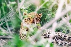 通配的豹子 免版税库存图片