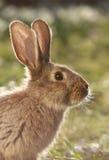 通配的野兔 免版税库存照片