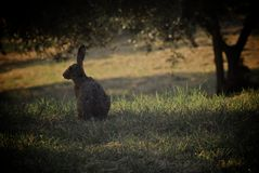 通配的野兔 库存图片