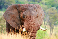 通配的非洲大象 库存图片