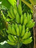 通配的香蕉 库存图片