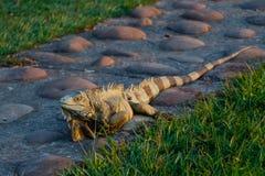 通配的鬣鳞蜥 库存照片