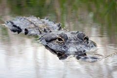 通配的鳄鱼 库存图片