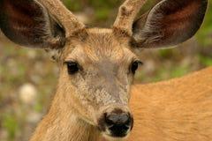 通配的鹿 免版税库存图片