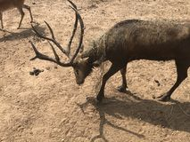 通配的鹿 免版税图库摄影