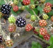 通配的黑莓 免版税库存照片