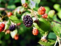 通配的黑莓 图库摄影
