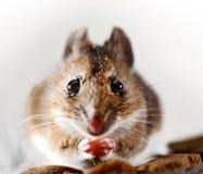 通配的鼠标 免版税库存照片