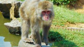 通配的猴子 库存照片