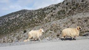 通配的绵羊 免版税库存照片