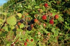 通配的黑莓 免版税库存图片