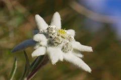 通配的edelweiss 免版税库存照片