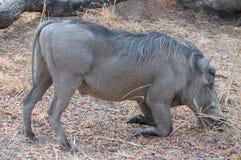 通配的warthog 免版税库存照片