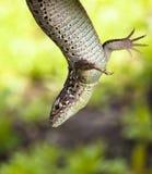 通配盘旋的蜥蜴 免版税库存照片