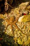 通配章鱼的红海 图库摄影