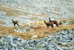 通配羚羊的山 免版税库存照片