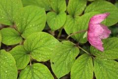 通配花的牡丹 免版税库存图片