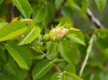 通配花的玫瑰 免版税图库摄影