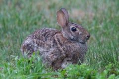 通配草的兔子 库存照片