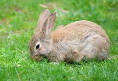通配草的兔子 免版税库存照片