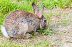 通配草的兔子 免版税库存图片