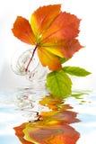 通配葡萄的叶子 库存图片