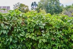 通配葡萄 常春藤绿色叶子在墙壁特写镜头的 图库摄影