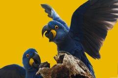 通配蓝色风信花的金刚鹦鹉 免版税图库摄影
