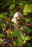 通配蘑菇 免版税库存图片