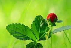通配重点前景森林宏观射击的草莓 免版税库存照片