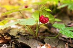 通配重点前景森林宏观射击的草莓 库存图片