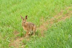 通配野兔 库存图片