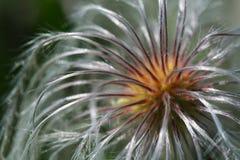 通配铁线莲属的种子 库存照片