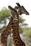 通配非洲动物国家公园的serengeti 库存图片